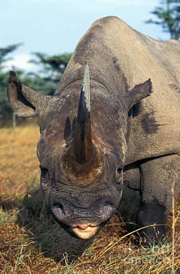 Black Rhinoceros Diceros Bicornis Print by Gerard Lacz