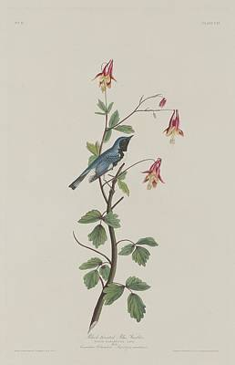 Warbler Drawing - Black-throated Blue Warbler by John James Audubon