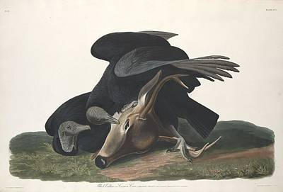 Black Vulture Print by John James Audubon