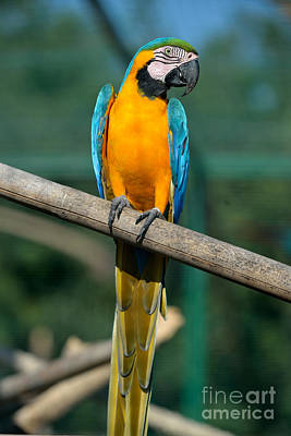 Parrot Painting - Blue And Gold Macaw by George Atsametakis