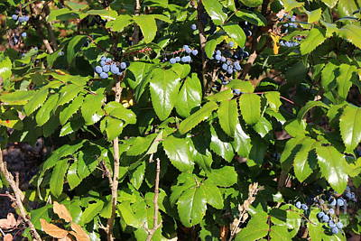 Berries Photograph - Blue Berry Bush 3 by Zachary Lowery