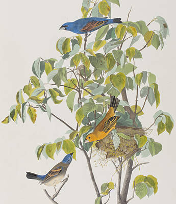 Blue Grosbeak Print by John James Audubon