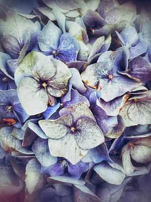 Blue Hydrangeas Background  Print by Tom Gowanlock