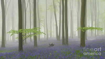 Bluebell Mist I Print by Richard Thomas