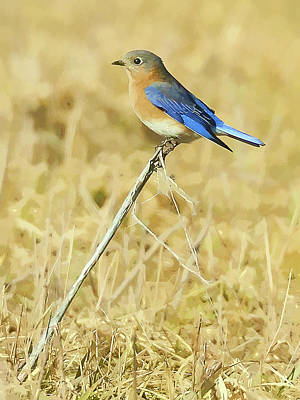 Bluebird Digital Art - Bluebird In February by William Jobes