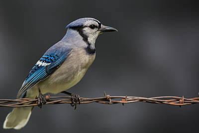 Bluejay Photograph - Bluejay by Larry Pacey