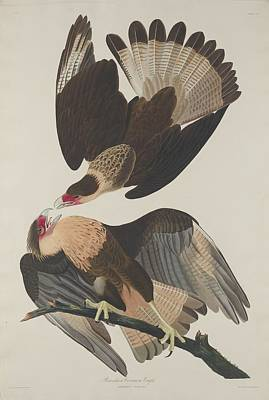 Brasilian Caracara Eagle Print by John James Audubon