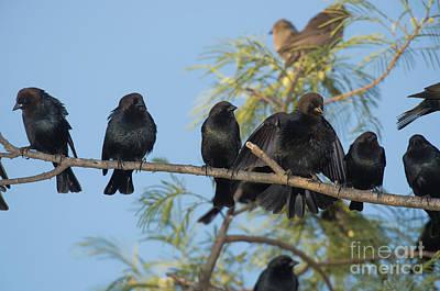 Brown-headed Cowbirds Print by Anthony Mercieca