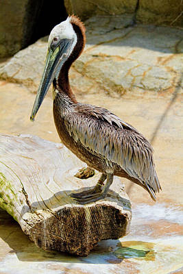 Brown Pelican Original by Arthur Bohlmann