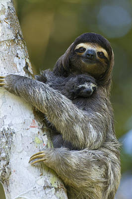 Mp Photograph - Brown-throated Three-toed Sloth by Suzi Eszterhas