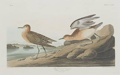 Sandpiper Drawing - Buff-breasted Sandpiper by John James Audubon