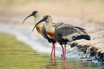 Wetlands Photograph - Buff-necked Ibis Theristicus Caudatus by Panoramic Images