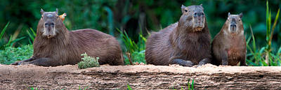 Wetlands Photograph - Capybara Hydrochoerus Hydrochaeris by Panoramic Images