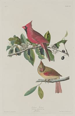 Cardinal Drawing - Cardinal Grosbeak by John James Audubon