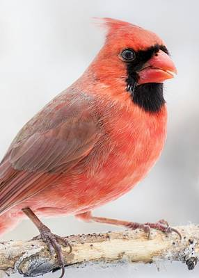 Male Northern Cardinal Photograph - Cardinal Portrait by Jim Hughes