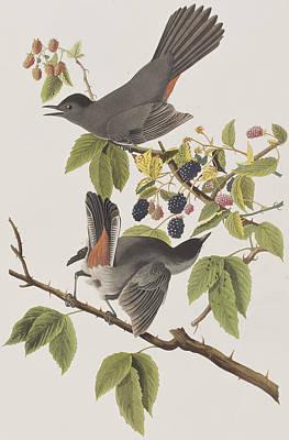 Raspberry Drawing - Cat Bird by John James Audubon