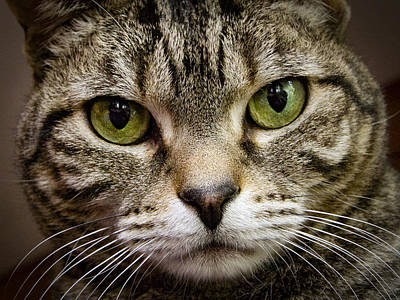 Gray Tabby Photograph - Cat Face by Jean Noren