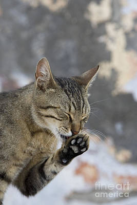 Gray Tabby Photograph - Cat Grooming In Greece by Jean-Louis Klein & Marie-Luce Hubert
