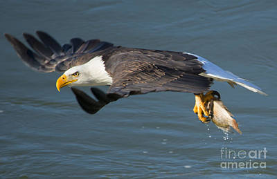 American Bald Eagle Photograph - Catch In Hand by Mike Dawson