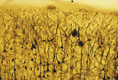 Cerebral Cortex Nerve Cells Print by Cnri