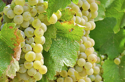 Grapes Photograph - Chardonnay Grapes Close Up by Brandon Bourdages