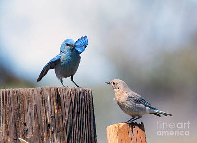 Bluebird Photograph - Check The Moves by Mike Dawson