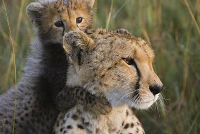 Cheetah Photograph - Cheetah Acinonyx Jubatus And Cub by Suzi Eszterhas