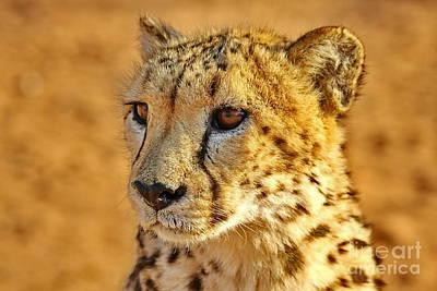 Cheetah Face  Original by Tom Cheatham