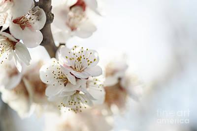 Cherry Blossom Print by Jelena Jovanovic