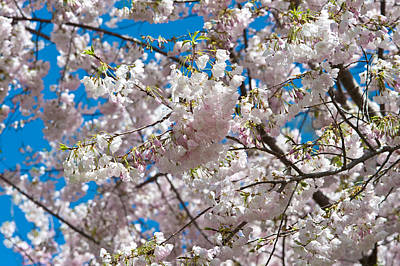 Cherry Blossom Print by Sebastian Musial
