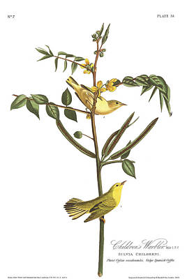 Warbler Drawing - Children's Warbler by John James Audubon