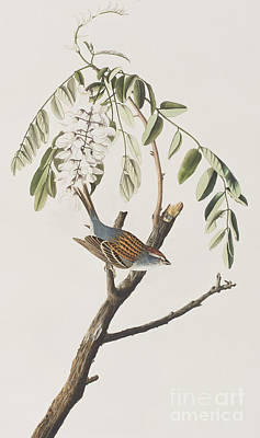 Sparrow Painting - Chipping Sparrow by John James Audubon