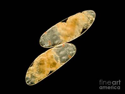 Midge Photograph - Chironomid Eggs, Lm by Rub�n Duro/BioMEDIA ASSOCIATES LLC