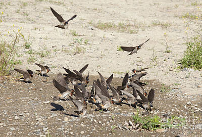Cliff Swallows Gather Mud Print by Marie Read