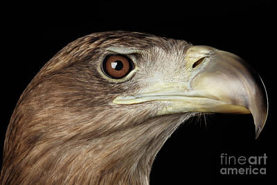 Close-up White-tailed Eagle, Birds Of Prey Isolated On Black Background Print by Sergey Taran