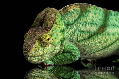 Reptiles Photograph - Closeup Parson Chameleon, Calumma Parsoni Orange Eye On Black by Sergey Taran