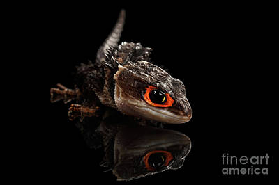 Closeup Red-eyed Crocodile Skink, Tribolonotus Gracilis, Isolated On Black Background Print by Sergey Taran