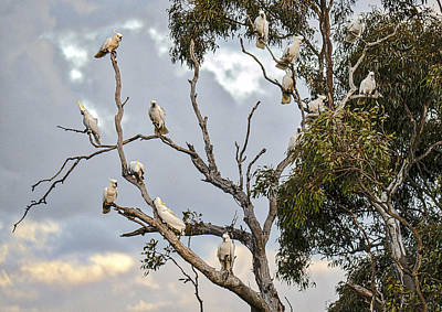 Eleonora Photograph - Cockatoos - Canberra - Australia by Steven Ralser