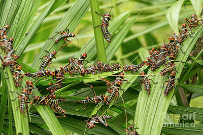 Eating Entomology Photograph - Collared Lubber Grasshoppers by Patricia Hofmeester