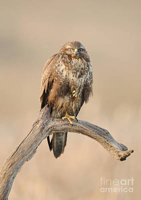Buzzard Photograph - Common Buzzard by Dr. Rainer Herzog