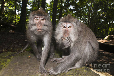 Indonesian Wildlife Photograph - Crab-eating Macaques by Reinhard Dirscherl