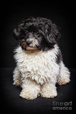Havanese Painting - Cute Black And White Havanese Dog Painting by Laszlo Toth