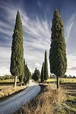 Vineyard Photograph - Cypress Trees - Tuscany by Rod McLean