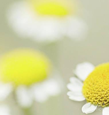 Flora And Fauna Photograph - Daisies by Janet Burdon