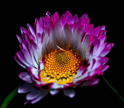 Spiral Photograph - Daisy by Martin Newman