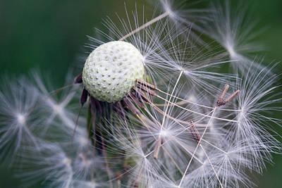 Botanic Photograph - Dandelion by Lise-Lotte Larsson