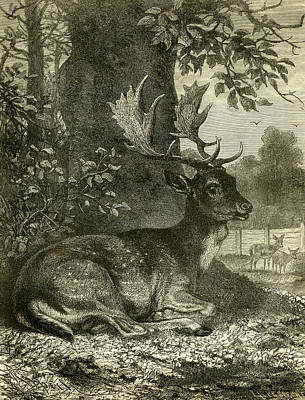 Deer Drawing - Deer by Austrian School