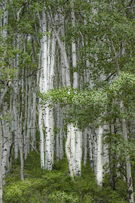 Aspen Photograph - Delicate Aspens. Colorado by George Robinson
