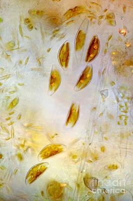 Diatom Photograph - Diatoms, Polarized Lm by Marek Mis