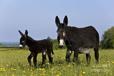 Baby Donkey Photograph - Donkey And Foal by Jean-Louis Klein & Marie-Luce Hubert